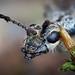 Portrait eines Schrotbocks (Rhagium inquisitor) - wildlife