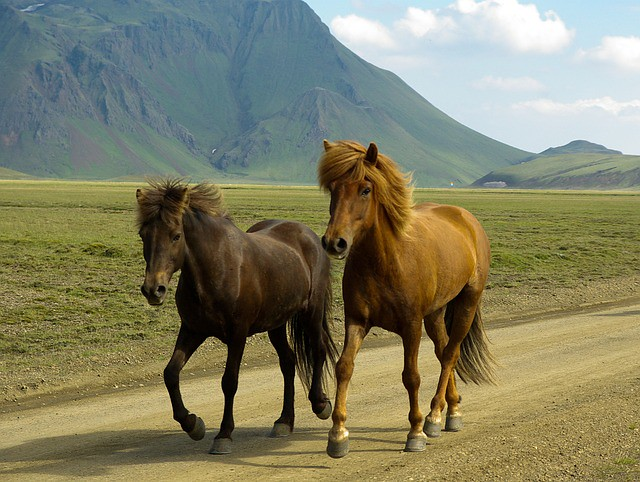 horses-584519_640