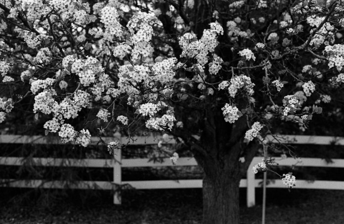 Callery pear by the fence