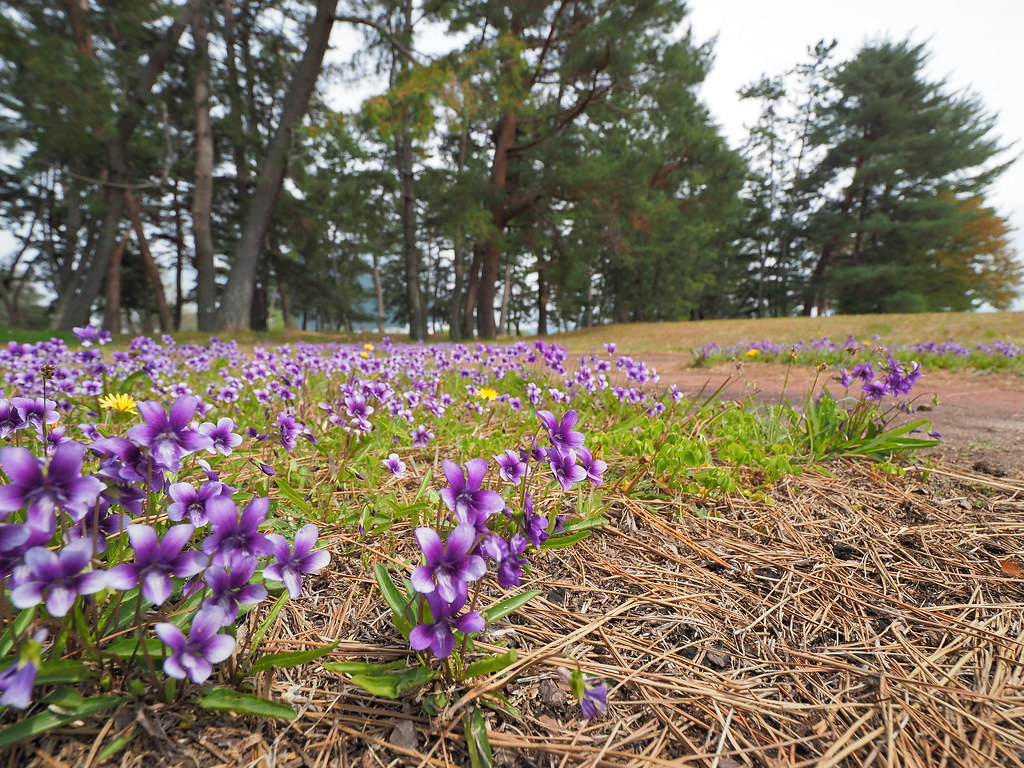 Manchurian violets (Viola mandshurica,  スミレ)