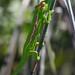 Cape Dwarf Chamelion, Bradypodion pumilum