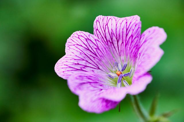 """Geranium bohemicum """"Orchid Blue"""""""