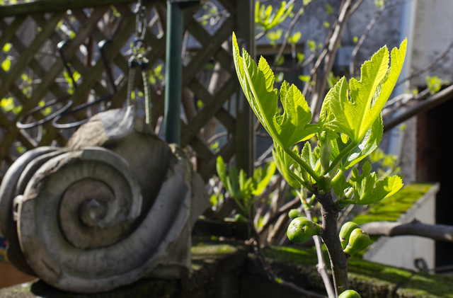 The Indefatigable Fig Tree