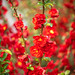 double flowering red quince