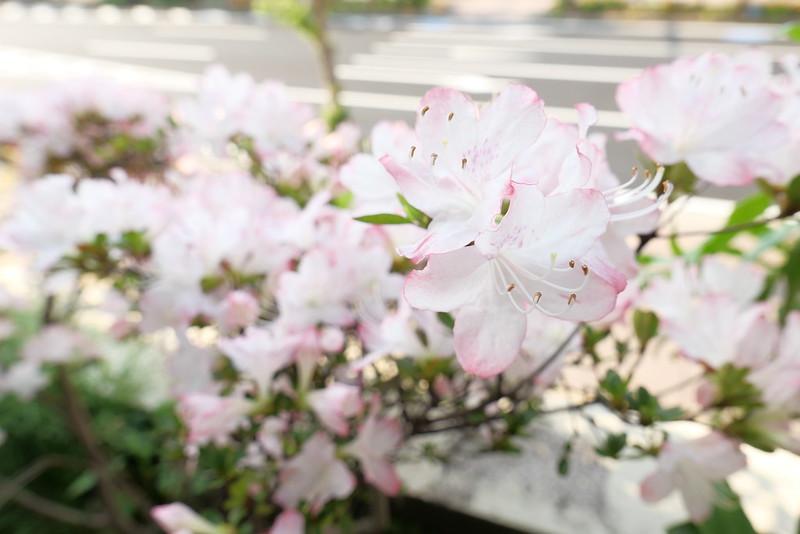 Rhododendron x obtusum