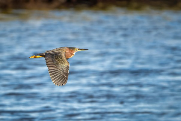 Green Heron fly by
