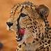 Ntombi, a cheetah with a dog complex