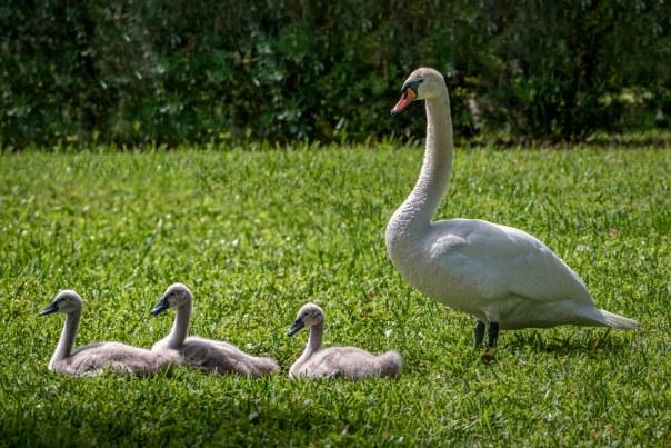 Lake Cherokee Mute Swans
