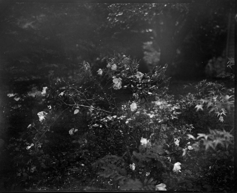 after the rain, into the sun, rose bush, blossoms, backlit, Asheville, NC, Graflex Crown Graphic, Schneider Symmar f-5.6, 150mm, Arista.Edu 400, Moersch Eco film developer, 5.18.20