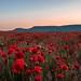 Sunrise Poppy field ❤️