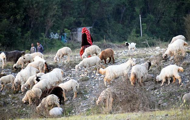 anak-desa-punya-tugas-menggembala-kambing-zaman-dahulu