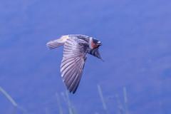 Cliff Swallow (Petrochelidon pyrrhonota)