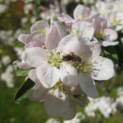 Apple Blosson and bee 2
