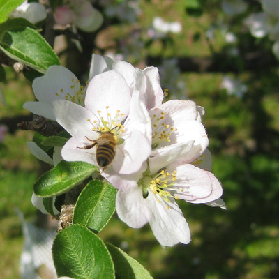 Apple Blossom and bee 3