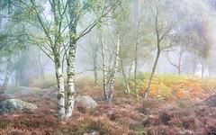 Birch, heather and bracken