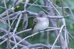 Willow Flycatcher (Empidonax hammondii)