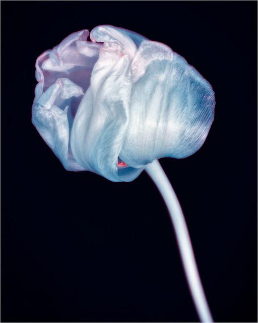 Surreal Tulip (POTW 20/20)