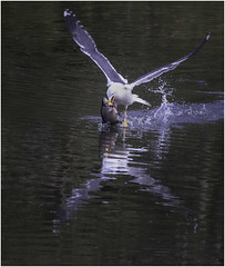 Gull with Carp