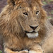 A Male Lion Temporarily In Repose