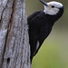 A Female White-headed Woodpecker Peeks Around A Twisted Old Tree Stump