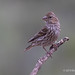 A Portrait Of A Perched Female Cassin's Finch