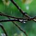 Gota de agua en la planta de acebo