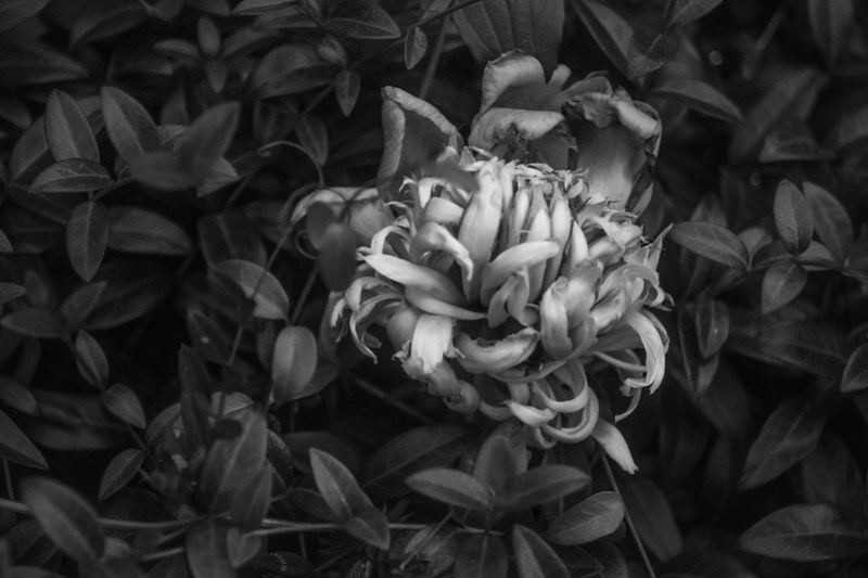 peony blossom, wilting into ground cover, Asheville, NC, Nikon D3300, Industar 50mm f-4.5, 5.30.20