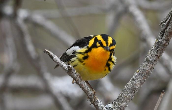 Blackburnian Warbler - Setophaga fusca