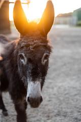 Esel Dana im Sonnenuntergang