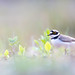 Flussregenpfeifer - Little-ringed Plover