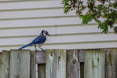 Enjoying our backyard and snapping some pictures of some backyard birds.