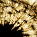 dandelion sunspots