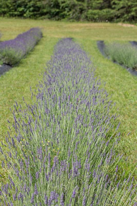 Lookout Lavender Farm52