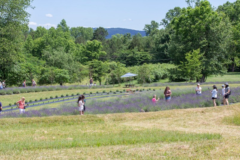 Lookout Lavender Farm54
