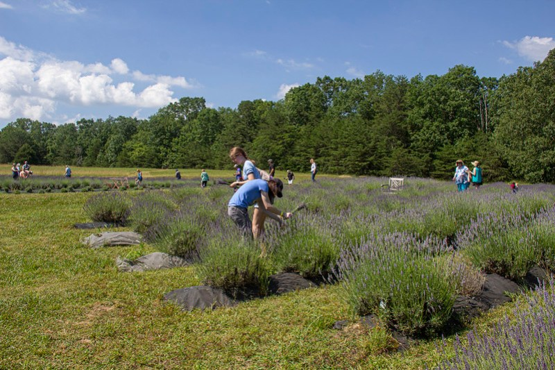 Lookout Lavender Farm17