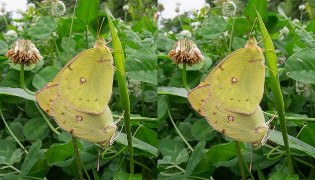 モンキチョウの交尾 立体写真