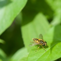 Hover Fly sitting