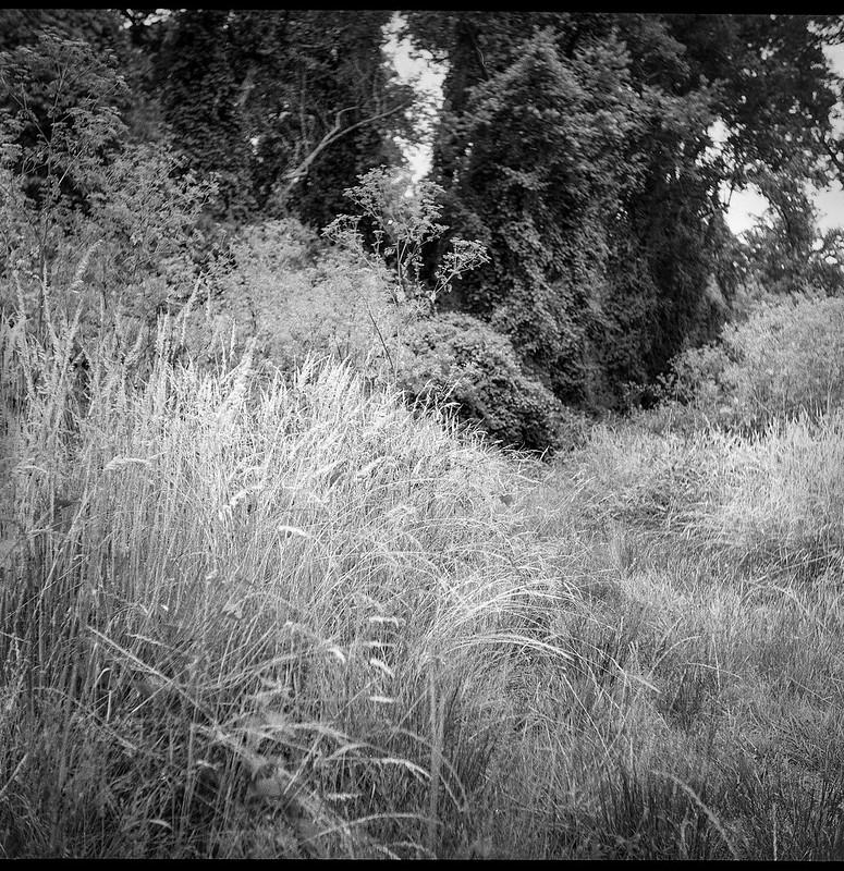 tall grasses, pathway, forest's edge, Biltmore Estate, Asheville, NC, Ricohflex Dia M, Kodak Tri-X 400, Moersch Eco film developer, 6.21.20 (1 of 1)