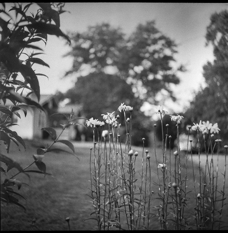 cluster, floral forms, blossoms, Asheville, NC, Ricohflex Dia M, Kodak Tri-X 400, Moersch Eco film developer, 6.21.20