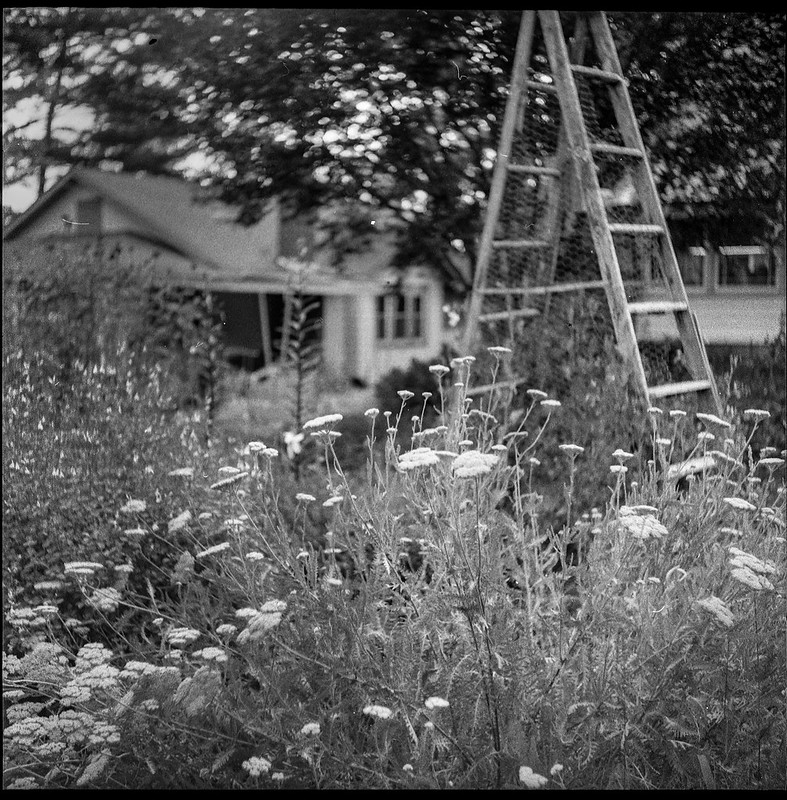wildflowers, ladder, yard, Asheville, NC, Ricohflex Dia M, Kodak Tri-X 400, Moersch Eco film developer, 6.21.20