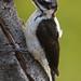 A Male Hairy Woodpecker Clings To An Old Split Tree Branch