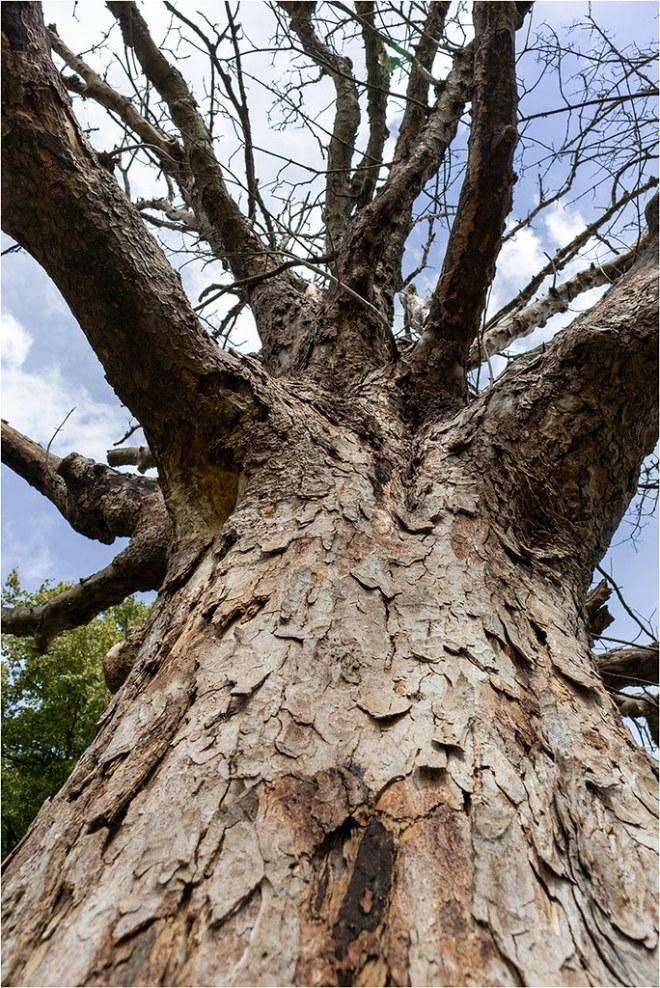 GI20-27 Old Dead Tree