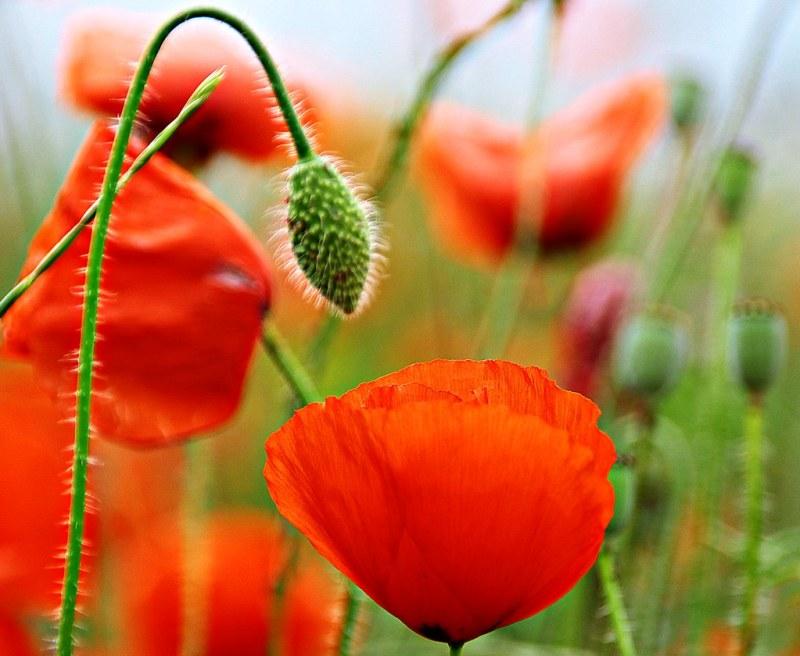 Last poppies----- Explore 5/06/2020