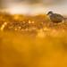 Eurasian Dotterel - Mornellregenpfeifer
