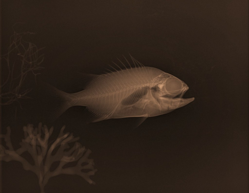 Small Red X Ray Fish