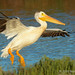 American White Pelican Landing With Wings Out And Legs Down To Slow Flight
