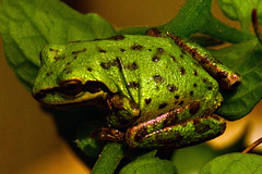 Sierran tree frog