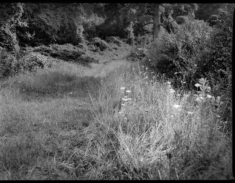 grassy pathway, forest's edge, queen anne's lace, Biltmore Estate, Asheville, NC, Mamiya 645 Pro, Fomapan 200, Moersch Eco film developer, 7.20.20