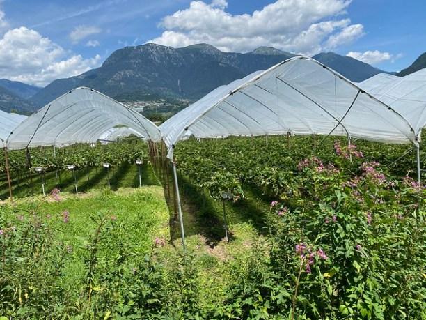 Hier werden Erdbeeren angebaut