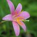 Pink rain lily (Zephyranthes carinata, サフランモドキ)